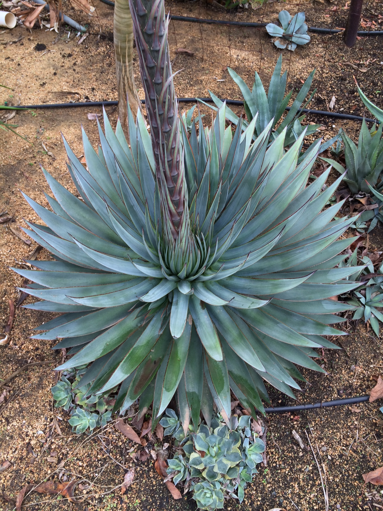 The Savvy Guyde: Know Your Poisons: Tequila |Blue Agave Plant